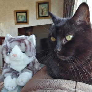 Mandy's cat, Bramble, with her Spring Raffle 2020 Fast Entry cat prize. 'Bramble has just turned 11, I found her crying in the hedge as a tiny kitten. I don't think she knows what to make of Cuddly cat!'
